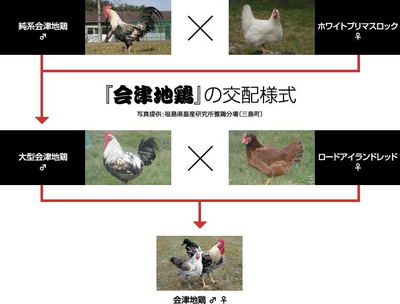 『会津地鶏』の交配様式 写真提供:福島県畜産研究所養鶏分場(三島町)